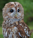 A Tawny Owl on alert Royalty Free Stock Photo