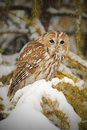 Tawny owl, brown owl, Strix aluco Royalty Free Stock Photo