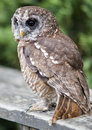 Tawny owl the or brown strix aluco Royalty Free Stock Images