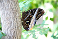 Tawny owl butterfly Photo stock