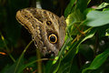 Tawny Owl Butterfly or Caligo Memnon Royalty Free Stock Photo