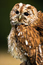 Tawny owl close up of against a dark green background Stock Photos