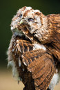 Tawny owl close up of preening Stock Images