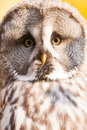 Tawny owl closeup of white Royalty Free Stock Images