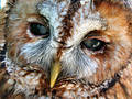 Tawny Owl Face Royalty Free Stock Photos