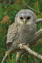 Tawny owl, juvenile / Strix aluco Stock Photo