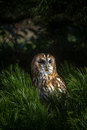 Tawny owl perched on a branch Royalty Free Stock Photo
