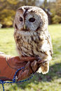 Tawny owl perched on hand with glove used in falcontry Stock Image