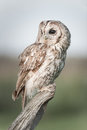 Tawny owl a perched on an old post as evening approaches Royalty Free Stock Photo