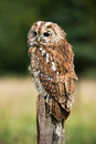 Tawny owl perched on a stump against a forest background Stock Photo