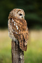 Tawny owl perched on wooden post against a blurred forest background Stock Images