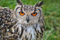 Tawny owl profile of a Stock Photo