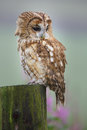 Tawny owl sitting on a post n old gate in the english countryside Royalty Free Stock Photos