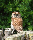 Tawny owl a sitting on a tree stump Royalty Free Stock Photography