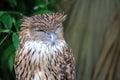 Tawny Owl sleeping face Royalty Free Stock Photo