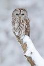 Tawny Owl, Snow Covered Bird I...