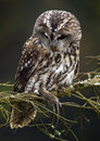 Tawny Owl (Strix aluco) Stock Images