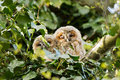 Tawny Owl (Strix aluco) Royalty Free Stock Images