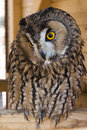 Tawny owl the strix aluco Royalty Free Stock Photos