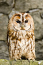 Tawny owl strix aluco perched on barn door also known as brown Stock Photos