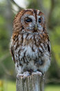 Tawny owl strix aluco perched on branch Stock Photo