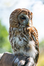 Tawny owl strix aluco perched on glove Royalty Free Stock Image