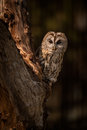 Tawny owl a strix aluco perched in an old tree in a farm yard Stock Image