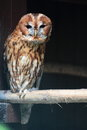 Tawny owl strix aluco sitting on branch Royalty Free Stock Images