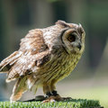 Tawny Owl Strix aluco Royalty Free Stock Photo