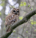 Tawny owl taken in strid woods bolton abbey north yorkshire Stock Images