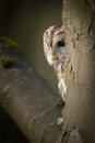 Tawny owl a in a typical hunting situation perched on a branch close to the main trunk of the tree it s attention focused on the Royalty Free Stock Photography