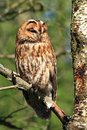 Tawny owl a wild on the branch of a tree in a scottish woodland Stock Images