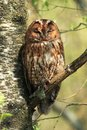 Tawny owl a wild roosting on the branch of a tree in a scottish woodland Royalty Free Stock Photography