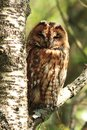 Tawny owl a wild roosting on the branch of a tree in a scottish woodland Royalty Free Stock Photos