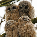 Tawny owls four juvenile perched on a twig Stock Image
