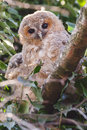 Tawny owls four juvenile perched on a twig Stock Photos