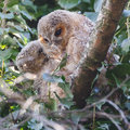 Tawny owls two juvenile perched on a twig Royalty Free Stock Photos