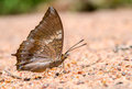 Tawny rajah butterfly consume minerals close up Royalty Free Stock Photo