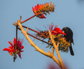 Tawny shouldered blackbird with red flowers a agelaius humeralis perches near to some beautiful Royalty Free Stock Photos