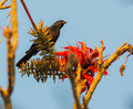 Tawny shouldered blackbird with red flowers a agelaius humeralis perches near to some beautiful Stock Photo