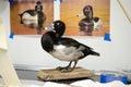 Taxidermy Studio Ringneck Duck...