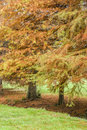 Taxodium distichum bald cypress also known as swamp with winter leaves Stock Photo