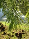 Taxodium Distichum (Bald Cypress) Tree with Rain Drops on Branches Growing next to Pond during Sunrise. Royalty Free Stock Photo