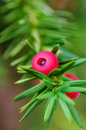 Taxus baccata branch european yew leaves seed and aril Stock Photography