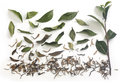 Tea branch and leaves with dried tea Royalty Free Stock Photo