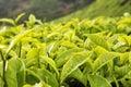Čaj púčik a listy