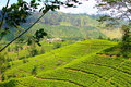 Tea estate beautiful shot of in kandy sri lanka Stock Photos