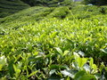 TEA FARM Royalty Free Stock Photos
