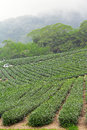 Tea farm alishan mountain taiwan close up Royalty Free Stock Image