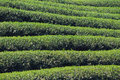 Tea farm in chiang rai thailand Royalty Free Stock Image